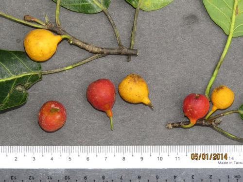 Buah Ficus Nervosa