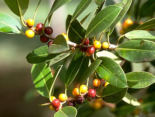 Buah Ficus Oblique