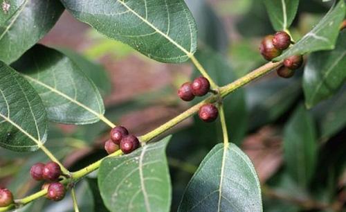 Buah Ficus Opposita