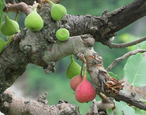 Buah Ficus Palmata