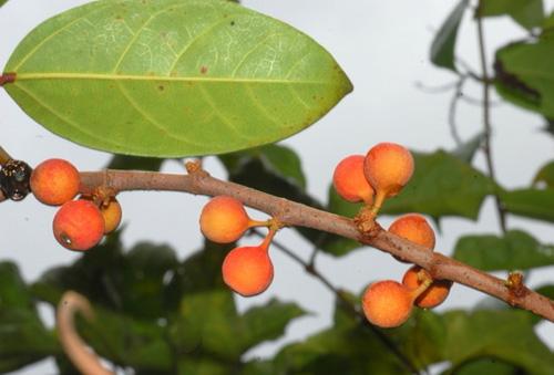 Buah Ficus Pantoniana