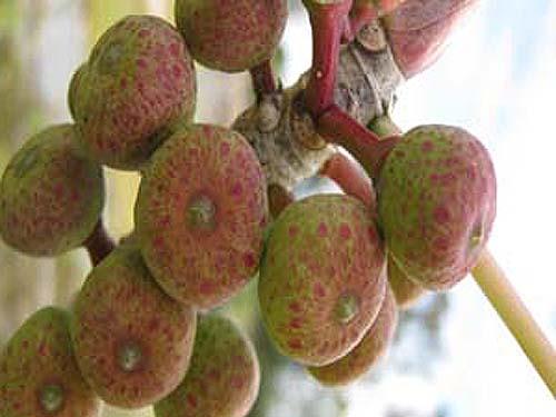 Buah Ficus Petiolaris
