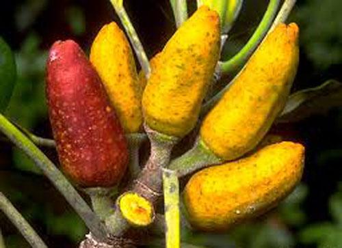 Buah Ficus Pleurocarpa