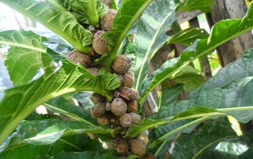 Buah Ficus Pseudopalma