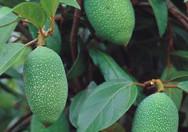 Buah Ficus Pumila Var. Awkeotsang