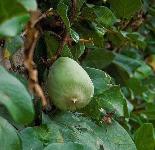 Buah Ficus Pumila