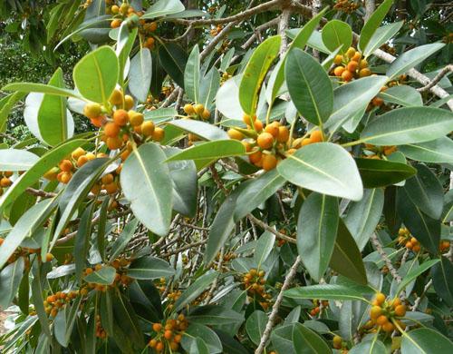Buah Ficus Rubiginosa