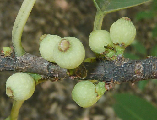 Buah Ficus Salicifolia