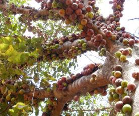 Buah Ficus Sansibarica Bergerombol