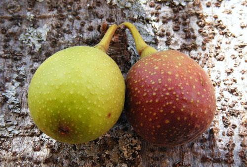 Buah Ficus Sansibarica