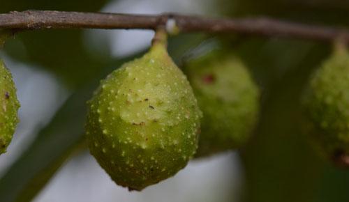 Buah Ficus Sarmentosa