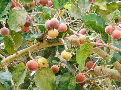 Buah Ficus Sycomorus