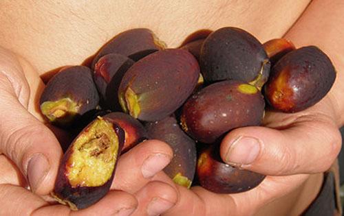 Buah Matang Ficus Drupacea