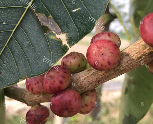 Buah Matang Ficus Religiosa