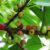 Mengenal Ciri Khusus Pohon Ficus Subpisocarpa