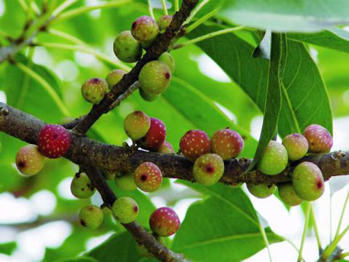 Buah Matang Ficus Subpisocarpa