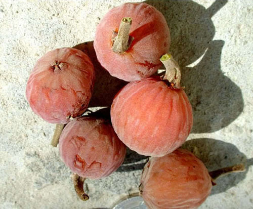 Buah Matang Ficus Sycomorus