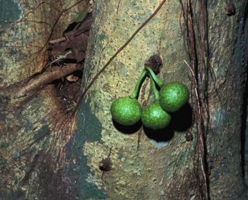 Buah Menggantung Ficus Bizanae