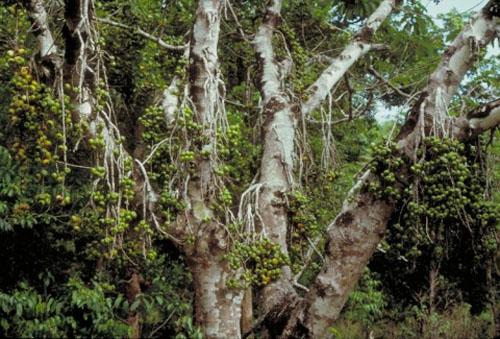 Buah Menggantung Ficus Hispida