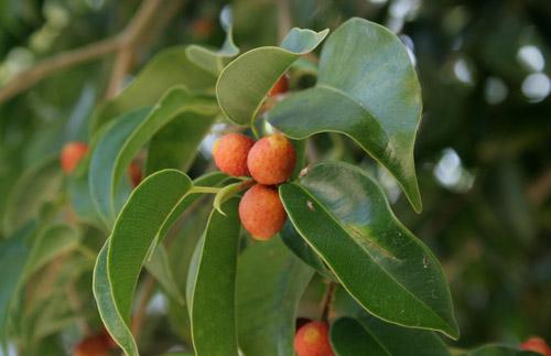 Buah Pohon Beringin Ficus Benjamina