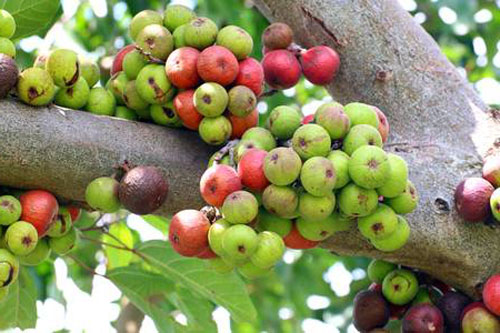 Buah Pohon Loa Ficus Racemosa