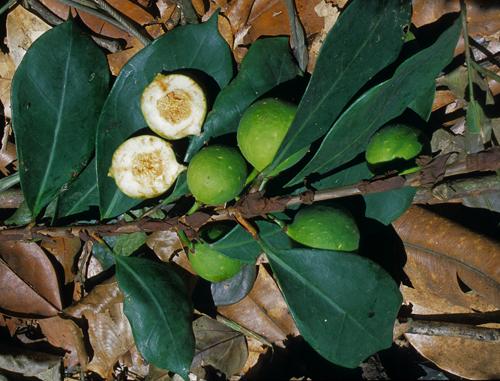 Buah dan Daun Ficus Cyathistipula