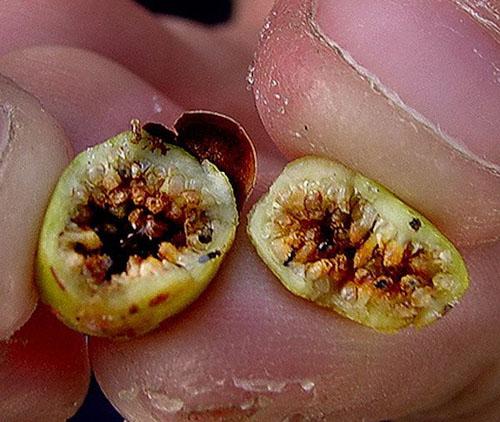 Daging Buah Ficus Aurea