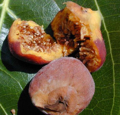Daging Buah Ficus Benghalensis
