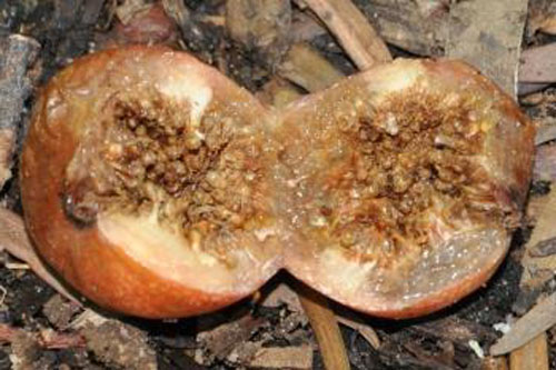 Daging Buah Ficus Craterostoma