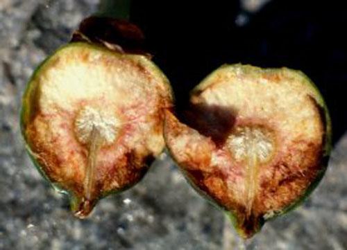 Daging Buah Ficus Cyathistipula