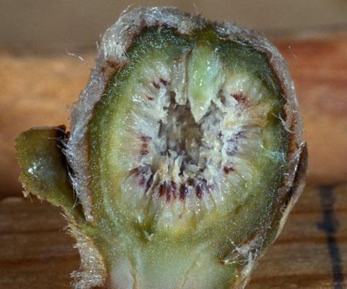 Daging Buah Ficus Lutea