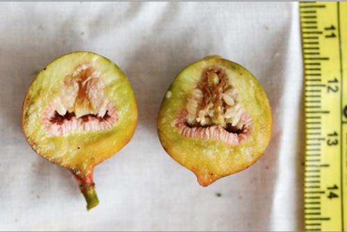 Daging Buah Ficus Pantoniana