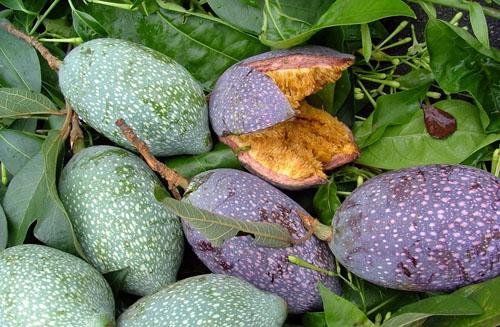 Daging Buah Ficus Pumila Var. Awkeotsang