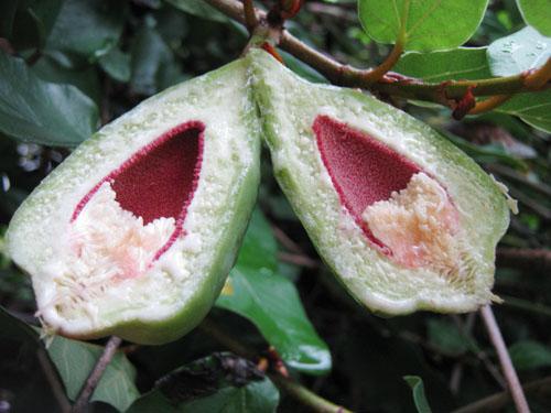 Daging Buah Ficus Pumila