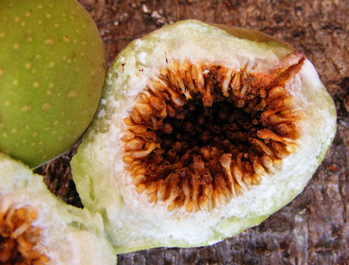 Daging Buah Ficus Sansibarica