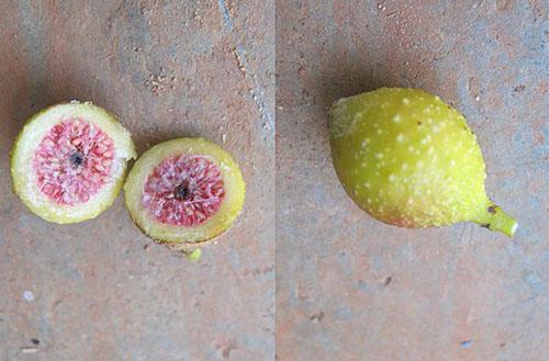 Daging Buah Ficus Sarmentosa