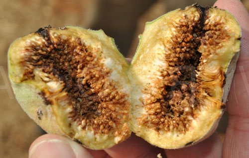 Daging Buah Ficus Sycomorus