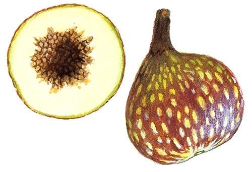 Daging Buah Ficus Variegate