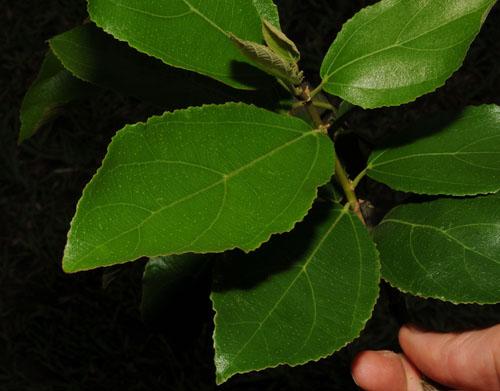 Daun Atas Ficus Exasperata