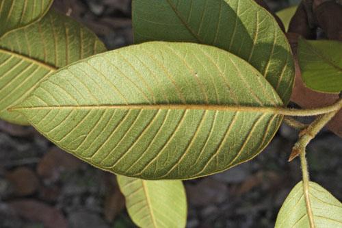 Daun Bawah Ficus Drupacea