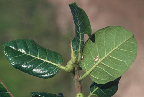 Daun Bawah Ficus Glumosa