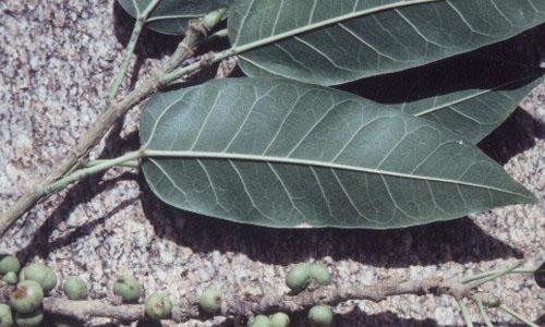 Daun Bawah Ficus Salicifolia