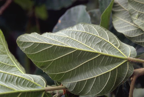 Daun Bawah Ficus Sycomorus