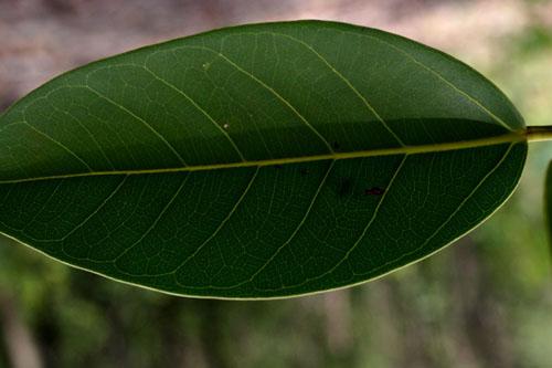 Daun Ficus Altissima