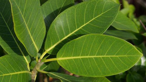 Daun Ficus Aurea