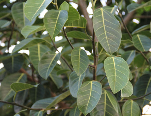 Daun Ficus Benghalensis