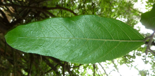 Daun Ficus Capreifolia