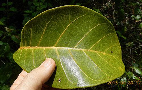 Daun Ficus Cyclophylla