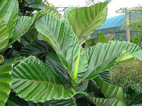 Daun Ficus Dammaropsis
