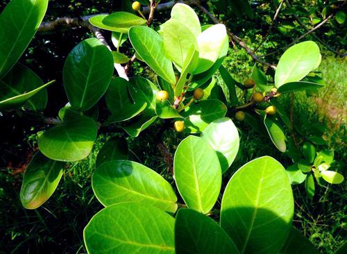 Daun Ficus Faulkneriana